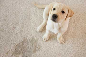 How To Remove Pet Urine Odor From Carpets
